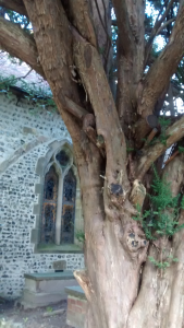A thousand year old tree at the entrance to St Wulfran's Church, Ovingdean